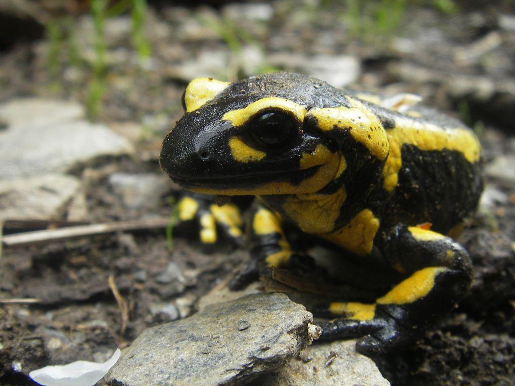 Une Magnifique Salamandre…